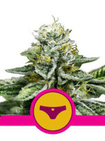 Royal Queen Seeds - Sherbet Queen Feminised Cannabis Seeds