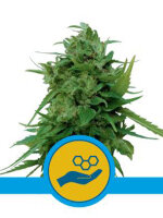 Royal Queen Seeds - Solomatic CBD Autoflowering Feminised Cannabis Seeds