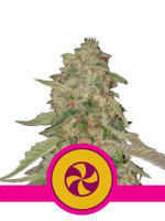 Royal Queen Seeds - Sweet Zkittlez Feminised Cannabis Seeds