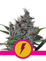 Royal Queen Seeds - North Thunderfuck Feminised Cannabis Seeds