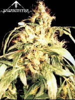 Sagarmatha - Blueberry Bud Regular Cannabis Seeds