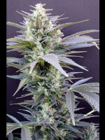 Seedism - AK Cheesecake Feminised Cannabis Seeds