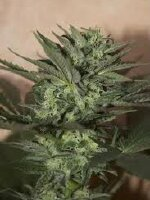 Seedsman - Auto Great White Feminised Autoflowering Cannabis Seeds