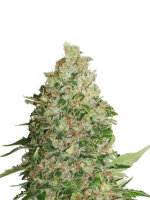 Seed Stockers - BCN Critical XXL - Feminised Cannabis Seeds