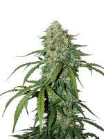 Seed Stockers - CBD 1:1 Silver Lime Haze Auto - Feminised Autoflowering Cannabis Seeds
