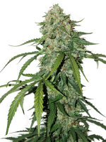 Seed Stockers - CBD 1:1 Silver Lime Haze - Feminised Cannabis Seeds