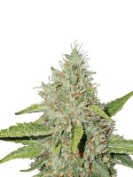 Seed Stockers - Northern Lights - Feminised Cannabis Seeds