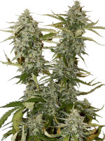 Seed Stockers - OG Candy Dawg Kush - Feminised Cannabis Seeds