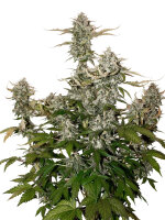 Seed Stockers - OG Candy Dawg Kush Auto - Feminised Autoflowering Cannabis Seeds