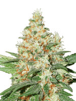 Seed Stockers - O.G. Kush - Feminised Cannabis Seeds