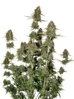 Seed Stockers - BCN Power Plant Auto - Feminised Autoflowering Cannabis Seeds