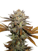 Seed Stockers - Sticky Fingers Auto Feminised Autoflowering Cannabis Seeds