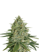 Seed Stockers - Super Skunk Auto - Feminised Autoflowering Cannabis Seeds