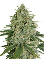 Seed Stockers - Super Skunk - Feminised Cannabis Seeds