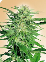 Sensi Seeds - Big Bud Feminised Cannabis Seeds