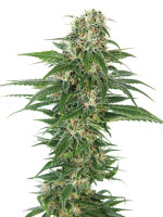 Sensi Seeds - Auto Early Skunk Feminised Autoflowering Cannabis Seeds