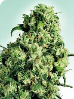 Sensi Seeds - Skunk #1 Feminised Cannabis Seeds