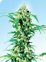 Sensi Seeds - Early Girl 10 Regular Cannabis Seeds