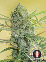 Serious Seeds - Serious Happiness Regular Cannabis Seeds 11 Pack