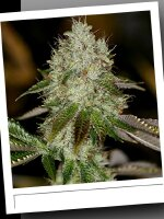 SinCity Seeds WhiteNightmare Line - Alien Nightmare Regular Cannabis Seeds