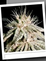SinCity Seeds Original Line - L.V.B.K. Regular Cannabis Seeds
