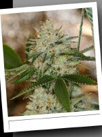 SinCity Seeds WhiteNightmare Line - Night Fire OG Regular Cannabis Seeds