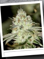 SinCity Seeds WhiteNightmare Line - Nightmare OG Regular Cannabis Seeds