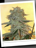 SinCity Seeds WhiteNightmare Line - PowerNap Regular Cannabis Seeds