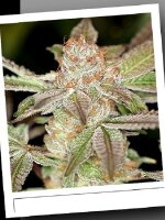 SinCity Seeds Original Line - Power Purps Regular Cannabis Seeds