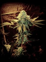 SinCity Seeds SourLine - Sour Jefe Regular Cannabis Seeds