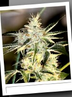 SinCity Seeds WhiteNightmare Line - Sour Nightmare Kush Regular Cannabis Seeds