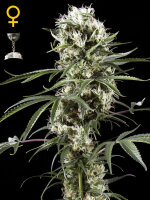 Green House Seeds - Super Lemon Haze Feminised Single Cannabis Seed