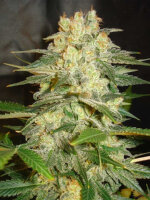 World of Seeds - Afghan Kush Ryder Auto Single Feminised Autoflowering Cannabis Seeds