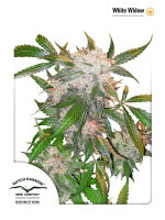 Dutch Passion - White Widow Feminised Cannabis Seeds