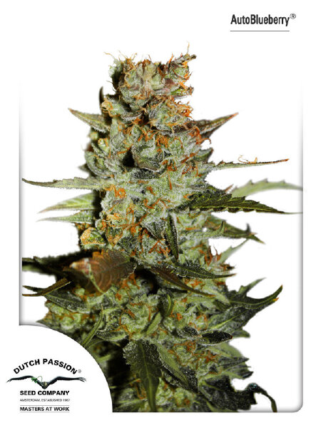 Dutch Passion - Auto Blueberry Feminised Autoflowering Cannabis Seeds