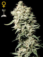 Green House Seeds - White Rhino Feminised Cannabis Seeds