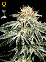 Green House Seeds - White Widow Feminised Cannabis Seeds