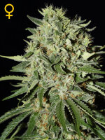 Green House Seeds - The Doctor Feminised Cannabis Seeds