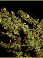 Soma Seeds - Haze Heaven Regular Cannabis Seeds