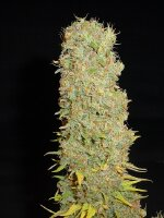 Soma Seeds - Big Kahuna Regular Cannabis Seeds