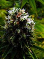 Soma Seeds - Citralah Regular Cannabis Seeds
