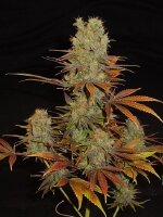 Soma Seeds - Somango Regular Cannabis Seeds