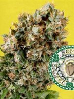 Soma Seeds - Somativa Regular Cannabis Seeds