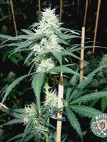 Soma Seeds - Somaui Regular Cannabis Seeds