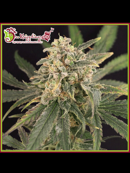 Dr Krippling - Sour Tang Kripple - Feminised Cannabis Seeds