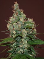 Cream of the Crop - Sour Turbo Diesel (a.k.a STD) Feminised Single Cannabis Seed