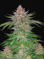 Fast Buds Seeds - Strawberry Pie Auto Feminised Autoflowering Cannabis Seeds