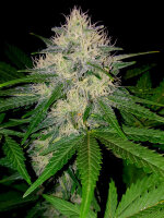 Sumo Seeds - Berries & Cheese - Feminised Cannabis Seeds