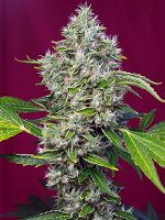 Sweet Seeds - San Fernando Lemon Kush Feminised Cannabis Seeds
