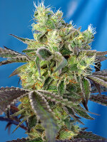 Sweet Seeds - Do-Sweet-Dos - Feminised Cannabis Seeds